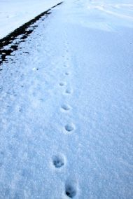 Artic Fox footprint