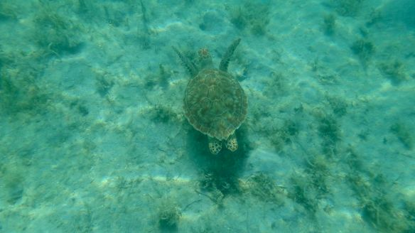 Seaturtle - Leinster Bay