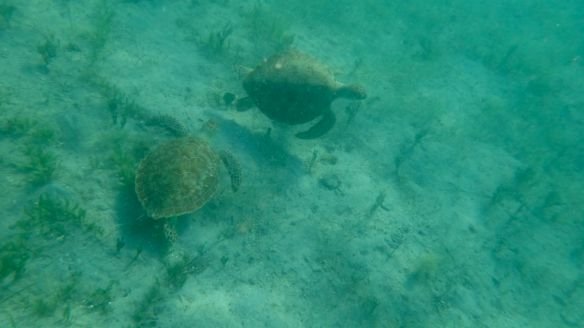 2 Seaturtles - Leinster Bay