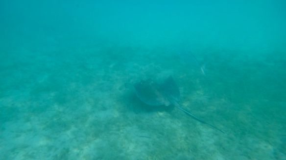 Stingray - Leinster Bay