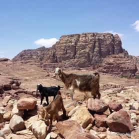 Petra - cabras